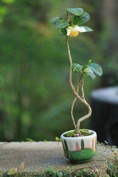 茶の木の豆盆栽 | チョコレート盆々