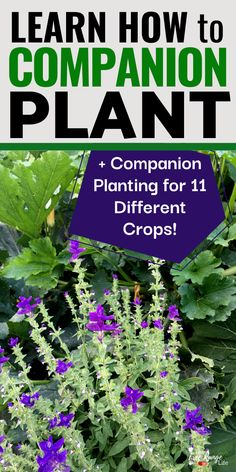 Companion planting is a great way to reduce garden pests and increase health and harvest in your organic vegetable garden. Whether you are a beginning gardener or a seasoned pro, you can use companion planting to help your garden grow better! Squash Companion Plants, Planting Vegetables, Vegetable Gardening, Planting Plants, Veggie Gardens, Veg Garden, Garden Art, Companion Planting, Organic Gardening Tips