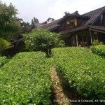 Tea Hawaii and Company's tea gardens are a magical place