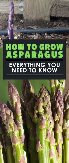 Asparagus is one of the most rewarding plants to grow once you know how to do it. Learning how to grow asparagus correctly is the key to not ripping your hair out!