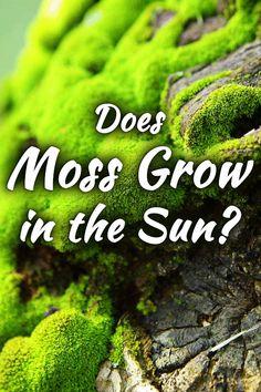 Fire Moss, Scottish Moss, Irish Moss all love the sun, some tolerate foot traffic and dryness Sun Garden, Shade Garden, Lawn And Garden, Garden Plants, Moss Lawn, Types Of Moss, Growing Moss, Paludarium, Terrarium Diy