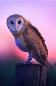 The common barn owl (Tyto alba) is the one of Earth's most widely distributed land birds, found on all continents but Antarctica.