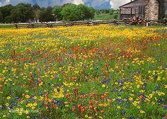Brenham wildflowers