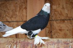 List of Pigeon Breeds | English Tumbler Pigeon