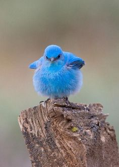 Puffed out blue bird... with attitude!