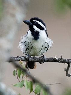 The Spot-flanked Barbet (Tricholaema lacrymosa) is a species of bird in the Lybiidae family. It is found in Burundi, Democratic Republic of the Congo, Kenya, Rwanda, Sudan, Tanzania, Uganda, and Zambia.