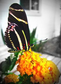 Raising butterflies with a butterfly box..