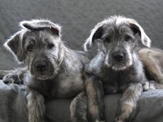 Caster and Pollux, 6 weeks, twin Male Irish wolfhound puppies. Baby Puppies, Cute Puppies, Cute Dogs, Dogs And Puppies, Doggies, Beautiful Dogs, Animals Beautiful, Cute Animals, Irish Wolfhound Puppies
