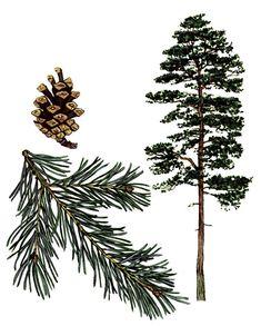 furutre - pinus sylvestris
