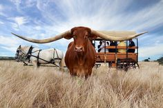we love charters towers. Texas Longhorns, Cowboy And Cowgirl, Papua New Guinea, Australia Travel, Animals And Pets, Cowboys, New Zealand, Trip Advisor, Safari