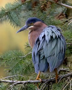 Portrait - Green Heron by Rick Leche on Flickr