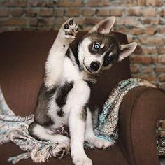 Daily Husky, Thanks to: Use in your pictures to be featured! Tag you… Daily Husky, 📰 Thanks to: Use in your pictures to be featured! Tag your friends! Cute Husky Puppies, Siberian Husky Puppies, Husky Puppy, Siberian Huskies, Mini Huskies, Baby Huskies, Puppies Puppies, Retriever Puppies, Cute Baby Animals