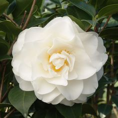 Swan Lake™ Camellia is a prized plant of the milder regions (zones 8-10). Peony-like blooms blossom from Winter to mid Spring, and contrast well with the glossy, dark green foliage. Use as a specimen in a woodland garden, as a privacy screen or in a container.