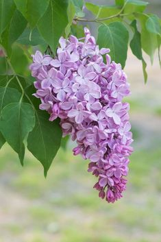 Lilac Tree (Available until May) Lilac Tree, Lilac Flowers, Purple Lilac, All Flowers, Beautiful Flowers, Wedding Flowers, Lilac Painting, Lilac Bouquet, Lilac Bushes