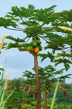 Carica papaya – Papaya