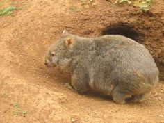 Did you know that wombats live underground? They use their claws to dig burrows to sleep in! #Australia #Wombat #Animals