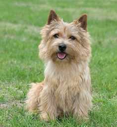 I want a Norwich Terrier soooo bad! Norfolk Terrier, Silky Terrier, Dog Breeds That Dont Shed, Terrier Dog Breeds, Cairn Terriers, Terrier Puppies, Irish Terrier, Dog Shedding, Non Shedding Dogs Medium