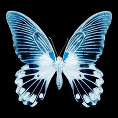 size: Photographic Print: Miss Butterfly Agenor Sq - X-Ray Black Edition by Philippe Hugonnard : Artists Photo Wall Collage, Picture Wall, Butterfly Wallpaper, Black Edition, Blue Aesthetic, Aesthetic Pictures, Art Inspo, Aesthetic Wallpapers, Cool Pictures