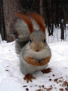 Majestic half grey and half red squirrel Nature Animals, Animals And Pets, Baby Animals, Funny Animals, Cute Animals, Cute Creatures, Beautiful Creatures, Animals Beautiful, Cute Squirrel