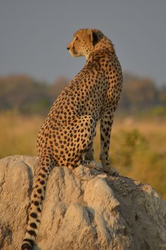 Cheetah at Footsteps Camp