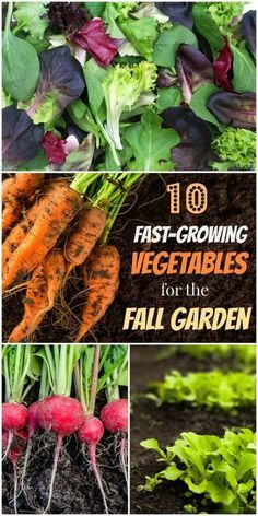 Plant These Speedy Fall Vegetables for a Last Hurrah! Yes! You can still plant fall vegetables to harvest and eat this year! There is still time in the late summer and early fall to plant fast-growing edible plants in your vegetable garden and have them on your plate in just 15-30 days. #gardentherapy #fall #fallgarden #gardeningtips #gardening #autumn #gardenideas #vegetablegarden #vegetablebackyardgarden