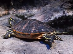 Eastern River Cooter Turtle.