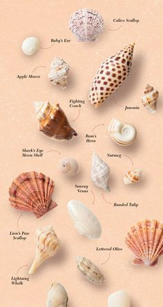 Game on Sanibel Island - Atlanta Magazine Try a shell hunt during your next beach getaway to the Gulf. What are you mermaid treasures?Try a shell hunt during your next beach getaway to the Gulf. What are you mermaid treasures? Seashell Art, Seashell Crafts, Beach Crafts, Seashell Jewelry, Crafts With Seashells, Seashell Decorations, Beach Themed Crafts, Seashell Painting, Shell Beach