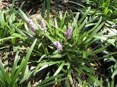 Turf alternative. Crowds out weeds. Low maintenance. Stays in clumps. Liriope m. 'Silver Midget' $1.47 per plant.