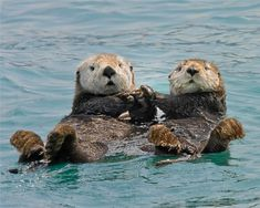 (4) sea otters - Twitter Search