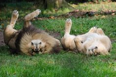"""Lion Love…….."". by PRA Images Via Flickr:"