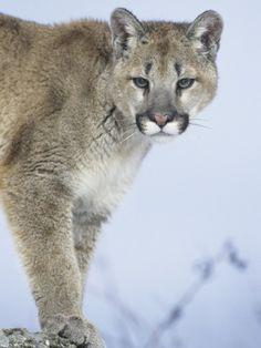 Cougar on Food Alert.