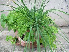 Így hozz létre fűszerkertet a balkonon | Balkonada Terrace, Bali, Herbs, Flowers, Plants, Gardening, Balcony, Patio, Lawn And Garden