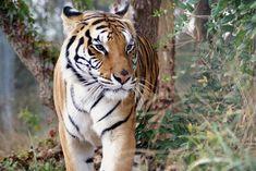 Roscoe Tiger | Carolina Tiger Rescue Leopard Eyes, Big Cats, Predator, Waterfall, Cute Animals, Tiger Tiger, Raptors, Gal Gadot, Pride
