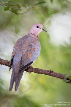 Laughing Dove - Johannesburg in South Africa. Isak Pretorius Wildlife Photography