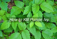 The presence of poison ivy in our gardens and tended living areas is a real bummer. Eradicating poison ivy is often the safest approach, and with a 5-Step Plan, we can ensure that it doesn't return.