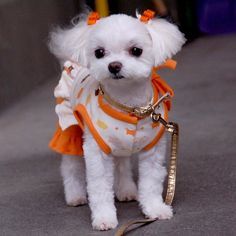 Your cute Maltese definitely needs a haircut. Here is a list of 35 adorable Maltese haircuts your puppy deserves for a clean look. Cute Puppies, Cute Dogs, Dogs And Puppies, Doggies, Little Dogs, Tattoo L, Dog Haircuts, Maltese Dogs, Teacup Maltese