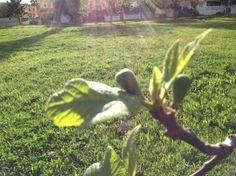 Higuera con sus primeros higos. Queda poquito para probar su delicioso fruto.