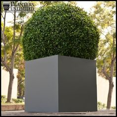 Topiary boxwood ball.  Modern container.