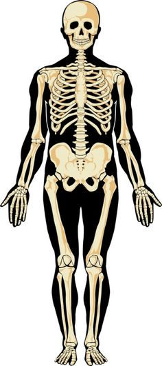 Illustration of Human skeleton in separate layers. vector art, clipart and stock vectors. Graphic Design Art, Graphic Design Inspiration, Graphic Prints, Human Skeleton Anatomy, Human Anatomy, Skeleton Photo, Human Knee, Stock Pictures, Stock Photos