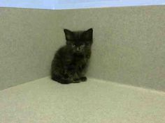 URGENT -ID#A448663 I am described as a male, black Domestic Longhair. The shelter thinks I am about 9 weeks old. I have been at the shelter since May 01, 2015 and I may be available for adoption on May 08, 2015 Moreno Valley,CA Animal Services