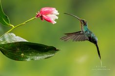 Green Hermit Hummingbird by J. Uriarte on 500px