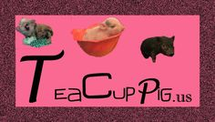 If you are looking for a new addition to your family a teacup pig just might be a perfect fit.