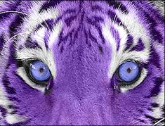 Who likes purple and who like tigers? Its a purple tiger! Purple Love, Purple Rain, All Things Purple, Shades Of Purple, Deep Purple, Pink Purple, Purple Stuff, Purple Candy, Purple Hues