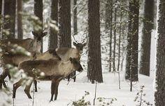 Finnish forest reindeer - wild forest reindeer (36419). a : Photo ...