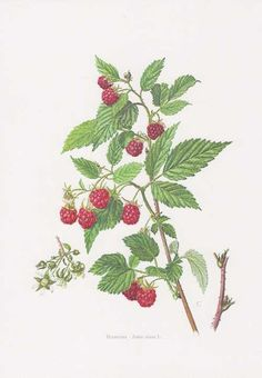 Vintage Botanical Print 'Raspberry' by Bonnie and Bell, the perfect gift for Explore more unique gifts in our curated marketplace. Vintage Botanical Prints, Botanical Drawings, Botanical Art, Vintage Prints, Raspberry Plants, Red Raspberry Leaf, Illustration Botanique, Plant Illustration, Nouveau Tattoo