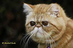 Duchesse, la petite soeur de Garfield, (Exotic Short Hair)