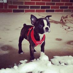 They may be small, but they are MIGHTY. | 24 Times Boston Terriers Were The Cutest Dogs On The Internet