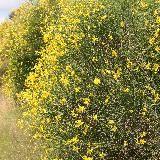 Spartium junceum. Nom commun : Genêt d'Espagne.  Rameaux fins en forme de jonc sans feuilles. Port dense. Abondante floraison jaune intense. Jolis rameaux verts.    Origine : Sud de l'Europe, Afrique du Nord, Ouest de l'Asie.