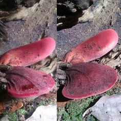 More beefsteak mushrooms, third fruiting in a year from this log. Steak And Mushrooms, Stuffed Mushrooms, Mushroom Cultivation, Mushroom Fungi, Beef Steak, Permaculture, Third, Instagram Posts, Arrows