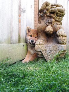 Shiba puppy squeezes himself behind the lion statue. #cute #shiba #dog
